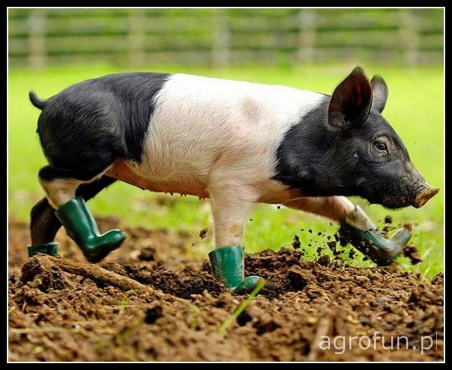 Świnia w kaloszach!!
